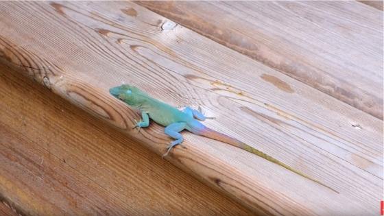 Jamaican Anole Lizard Up Close